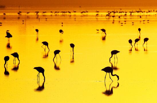 Flamingos feeding at sunset in Lake Nakuru, Kenya.