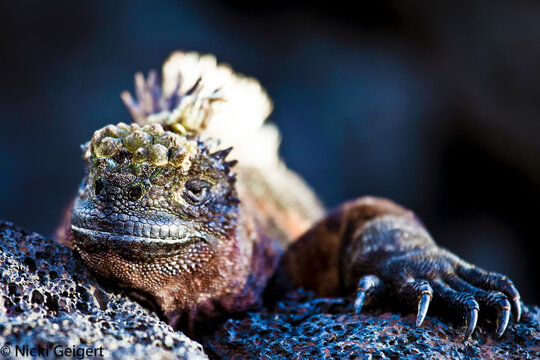 Galapagos Islands, Ecuador: A portrait of a marine iguana.