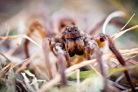 A wolf spider emerges in the evening to look for prey in Kansas's Tallgrass Prairie National Preserve.