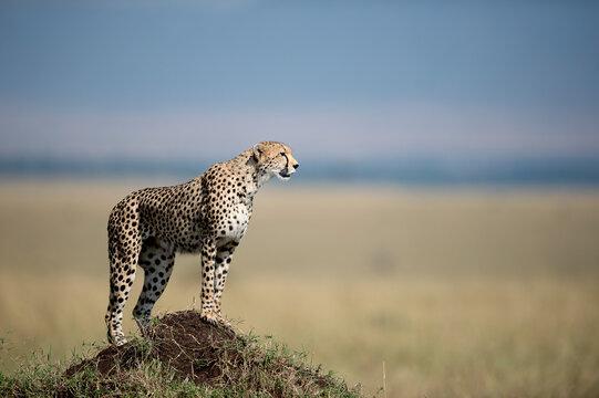 A female cheetah on a termite mound in the Masai Mara.