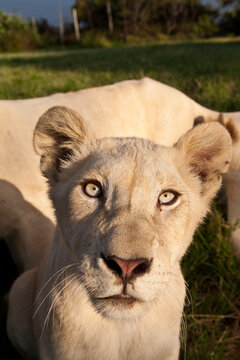 Portrait of a young female white lion making eye contact with the camera. South Africa.