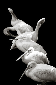 Homosassa Springs State Park, FL: Pelicans line up on a branch during the early morning.