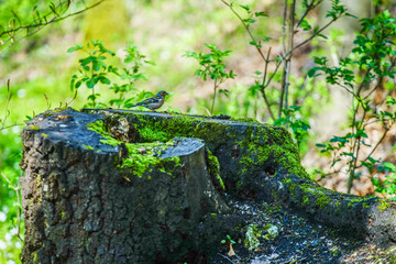 Fototapeta Dziki ptak w lesie na pniu obraz