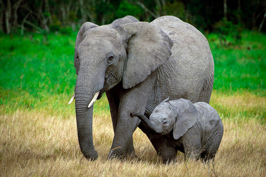 A young mother elephant and her baby walk through the grasses of the Masai Mara, Kenya.