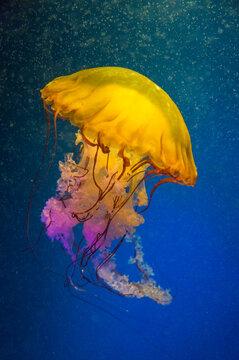 Sea nettle, Chrysaora fuscescens, at the La Jolla Aquarium, California
