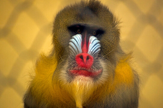A mandrill, the world's largest monkey, seen through a fence in the Portland's zoo, Oregon, USA.