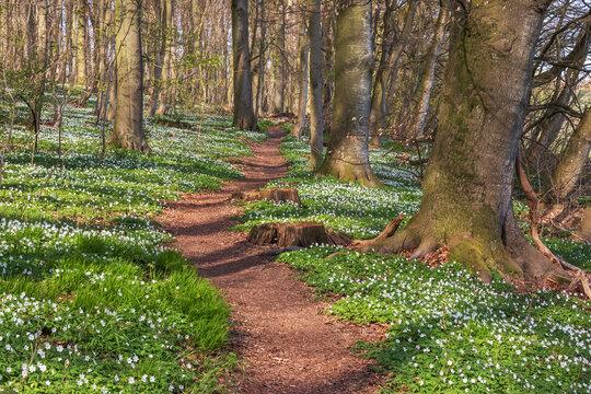 Wanderweg durch Buchenwald mit Buschwindröschen (Anemone nemorosa) im Frühling bei Reinfeld in Schleswig-Holstein. Naturwald Neuer Hau.