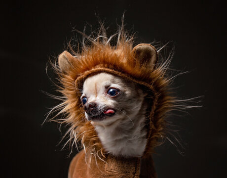 cute chihuahua dressed in a lion costume with his tongue hanging out in  in a studio shot isolated on a black background