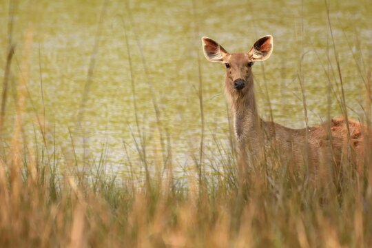 Female sambar deer alerted and hiding behind bushes and grass against a beautiful green lake background.