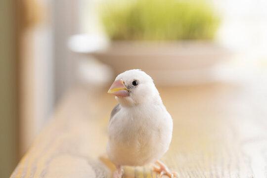 白文鳥のヒナ(生後約一か月)