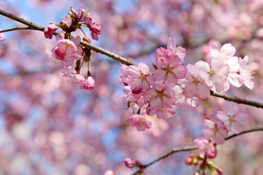 Pink sakura flowers on a branch at sunny day. Cherry blossom in spring garden on blue sky background