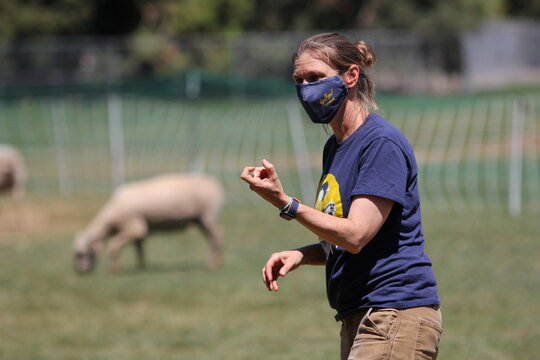 Haven Kiers, an assistant professor of landscape architecture at UC Davis, directs sheep for a landscape pilot project at the University of California, Davis in Davis