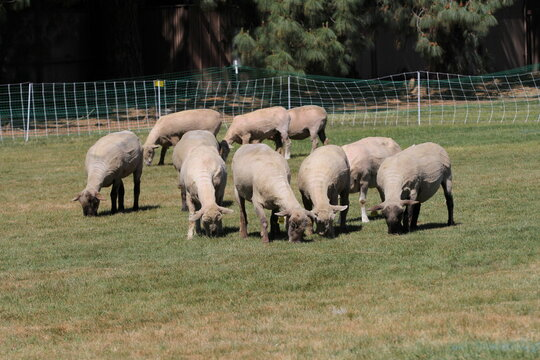 Sheep graze on a campus lawn for a landscaping pilot project at the University of California, Davis in Davis