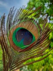 Peacock Feather Beautiful