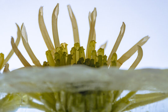 Yellow chrysanthemum in crystal clear ice