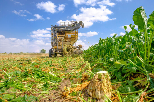 yellow combine harvesters harvest of sugar beet at summer