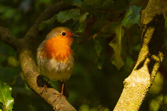European robin (Erithacus rubecula), bird with orange breast on tree with dark background, animal concept