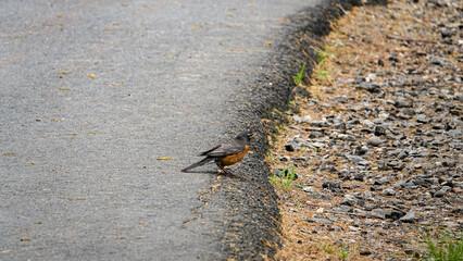 Fototapeta brązowo czarny ptak na poboczu drogi asfaltowej