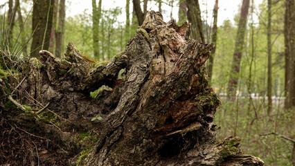 Obraz stary zbutwiały korzeń drzewa wśród innych drzew w lesie - fototapety do salonu