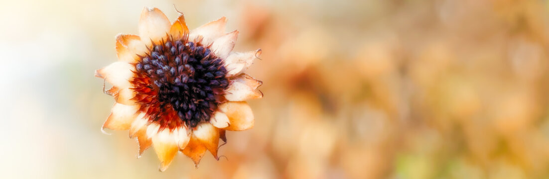 Dried Sunflower against a soft late summer background. Selective focus. Room for text. Banner or header