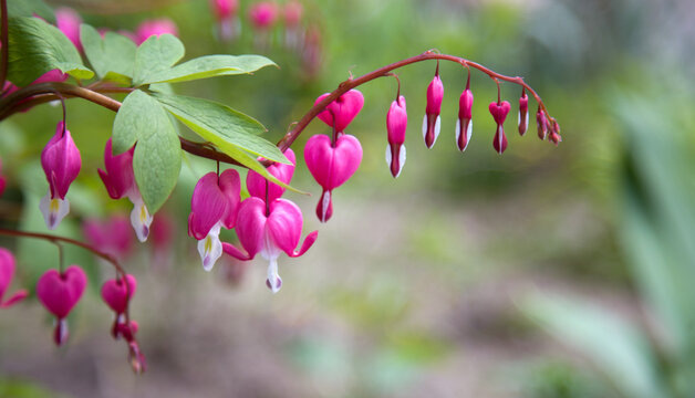 Plant with flowers in the shape of a heart. Dicentra spectabilis pink bleeding hearts in bloom on the branches, flowering plant in springtime garden, romantic flowers, green leaves
