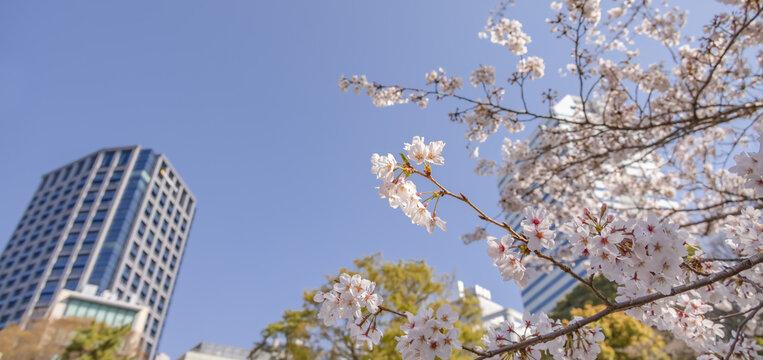 都会に咲く満開の桜の花