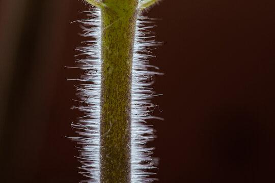 Macro of fluffy tomato plant stem.