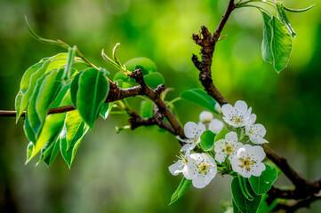Fototapeta kwiaty gruszy kwitnące wiosną obraz