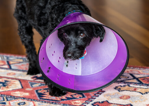 Front view of a sad black poodle terrier or yorkiepoo in a double protective plastic neck recovery cone to stop licking