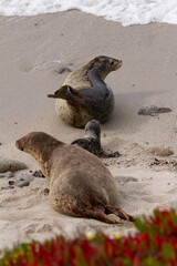 Newborn harbor seal pup with mother.