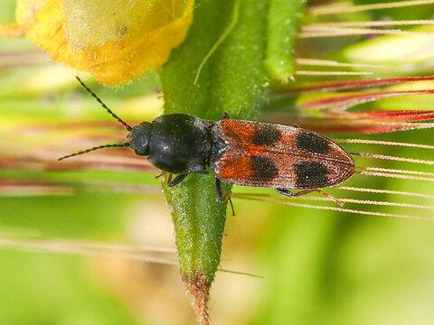 Click Beetle (Cardiophorus bipunctatus)