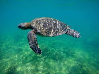 Green sea turtle swimming at Punta Espinoza, Fernandina Island, Galapagos, Ecuador