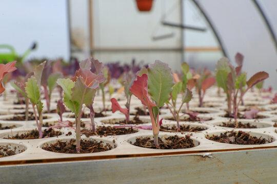 Anzucht von Kohlrabi Jungpflanzen