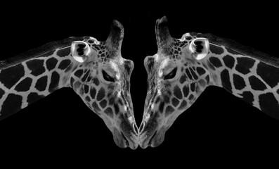 Fototapeta Two Black And White Portrait Giraffes