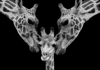 Fototapeta Cute And Beautiful Giraffe Family In The Black Background