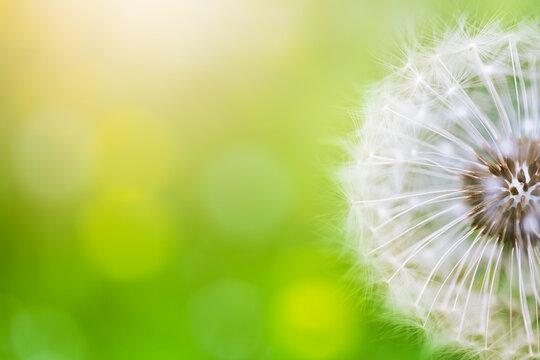 Beautiful dandelion flower on green bokeh background in sunlight. Summer nature landscape, macro and soft focus