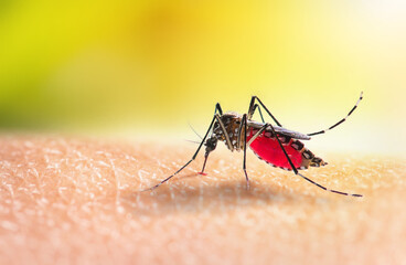 Aedes mosquitoe is sucking blood on human skin