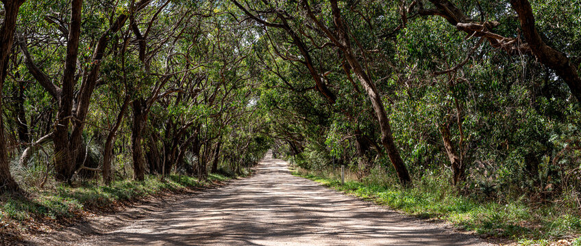 Tree lined road panorama, dappled light on gravel track leading into the distance. Natural Australian landscape.
