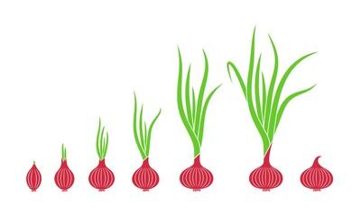 Fototapeta Crop stages of onion. Growing onion plants. Bulbs life cycle obraz