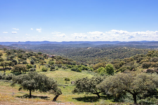 View of a common pasture in Spain, with some holm oaks, cork oaks in the Sierra de Aracena natural area and Picos de Aroche