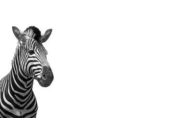 Fototapeta Cebra aislada sobre fondo blanco para escribir texto. Animales. Fondos.
