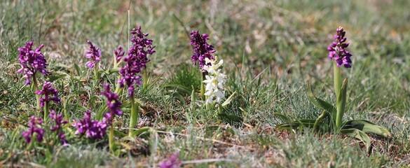 Orchidées, orchis