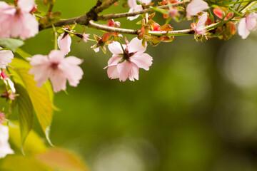 Obraz pale pink blooming mirabelle flowers - fototapety do salonu