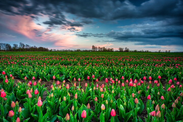 Fototapeta Sunset over the blooming tulips field in northern Poland obraz