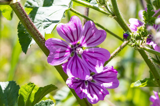 Malva sylvestris is a species of the mallow genus Malva in the family of Malvaceae. Known as common mallow, it acquired the names of cheeses, high mallow and tall mallow. Malva multiflora Cav. Soldano