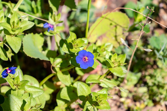 Lysimachia foemina is commonly known as blue pimpernel or poor man's weatherglass, and was formerly called Anagallis foemina. It is a low-growing annual herbaceous plant of the family Primulaceae