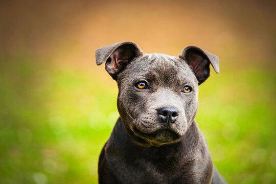blue puppy staffordshire bull terrier