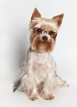 Yorkshire Terrier with glasses on a white background