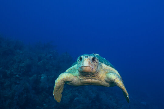 A loggerhead turtle who judging by his size and barnacles on his shell is old. The turtle is cruising the reef during mating season looking for a partner