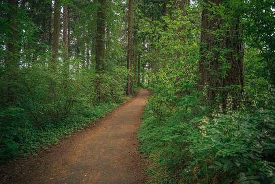 Meandering trail path through lush green spring Pacific Northwest forest